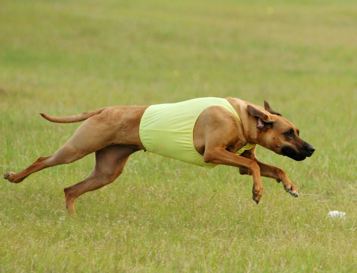 Juba Lee Ridgebacks! Performance Dogs
